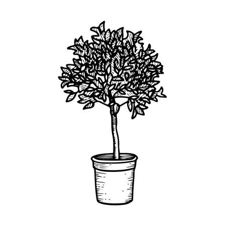 Monochrome sketch of orange tree or ficus benjamin growing in pot. Hand drawn potted plant. Black and white illustration.