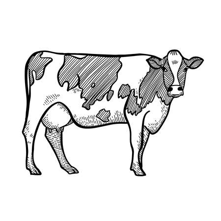 Spotted Cow. Hand drawn single image in a graphic style. Vintage engraving illustration for poster, web. Isolated on white background. Ilustração