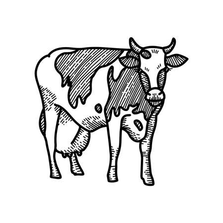 Hand drawn sketch of spotted cow with big milk udder. Engraved style illustration isolated on white background.