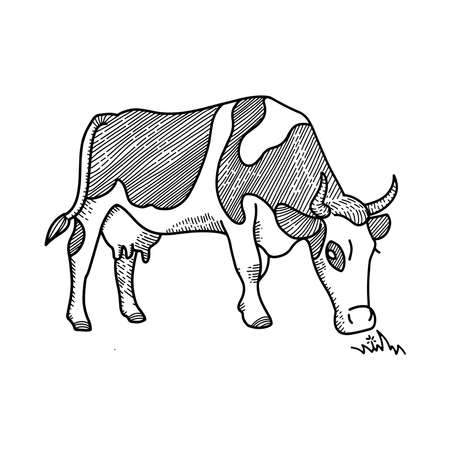 Sketch of spotted Cow eating grass sketch. Dairy cattle illustration. Hand Drawing isolated on white. Farm pet. Grazing in the meadow. Vintage engraving concept for poster, web. Ilustração