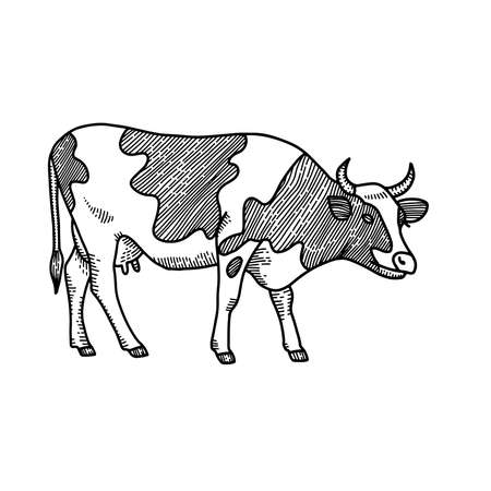 Hand drawn cow sketch. Engraved style illustration isolated on white background. Ilustração