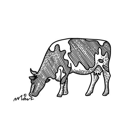 Young cow eating grass hand drawn illustration. Drawing suited for label design, educational illustrations, and stationary design as well. Engraved style isolated on white background.