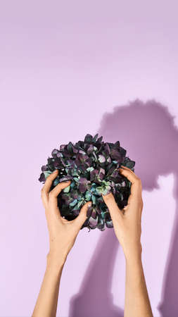 Spring holidays concept. Top view of female hands touching beautiful green potted flowers standing on purple background 免版税图像