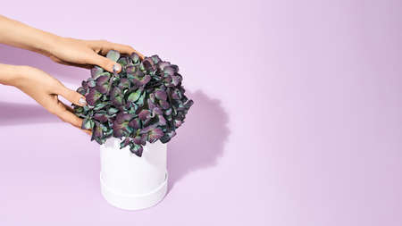 Female hands touching beautiful spring flowers in white pot standing on purple background