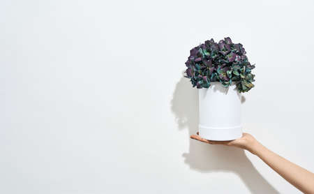 Happy International Womens Day. Female hand holding beautiful spring flowers in white pot against white background 免版税图像