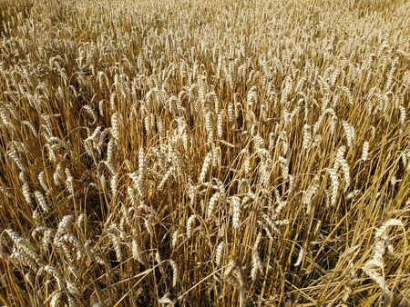 Wheat field natural product. Growth nature harvest. Ears of golden wheat close up. Rural scene under sunlight. Summer background of ripening ears of landscape.