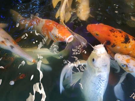 red, yellow, white fish splash in the water.
