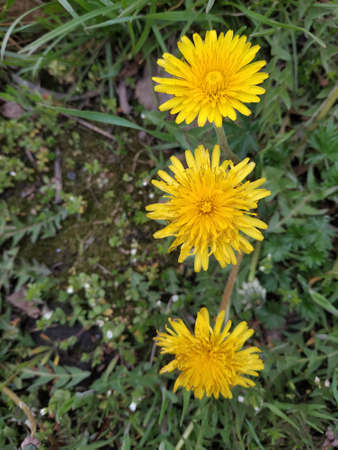 Dandelion Tar xacum is a genus of perennial herbaceous plants of the Astrope family, or Complex. Three flowers in a row. Top view