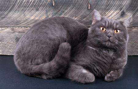 scottish straight: Scottish straight cat lying. Front view