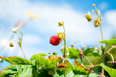 Strawberry fruits in growth at garden. Summer berries in natural background