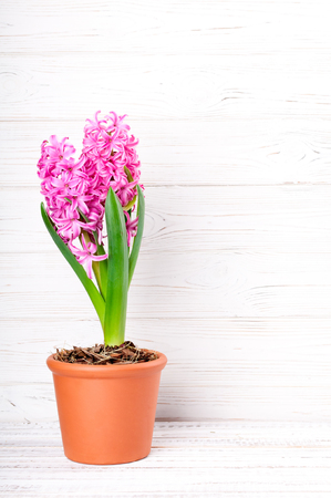 Spring background with pink hyacinth flowers. Holidays card 8 March, Mother's day, Easter. Copy space