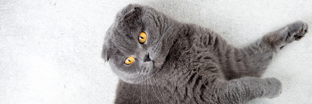 Scottish fold cat lying on white background. Banner with cat. Copy space, top view Zdjęcie Seryjne