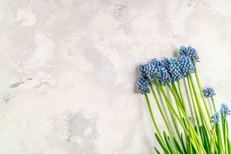 Grape hyacinth Muscari flowers. Blue muscari bouquet. Spring compositions. Top view, copy space