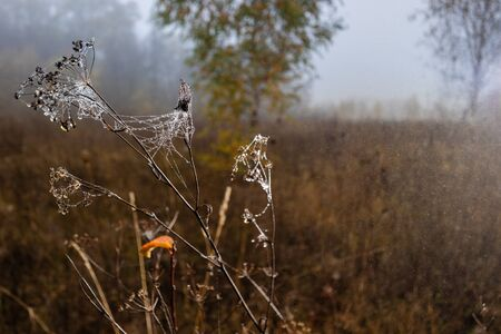 Spider webs with drops on dry autumn plants. Autumn background. Autumn, weather, season concept
