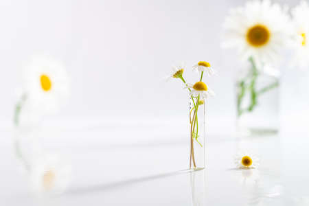 Beautiful chamomiles or daisy flowers in glass vase on white table. Floral composition in home interior. Festive background, alternative medicine, herbal, beauty concept