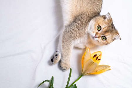 Cat and flower. Funny kitten and lily flower on white background. Cute cat and beautiful flower. Happy birthday, holidays, cozy home cat concept Banque d'images