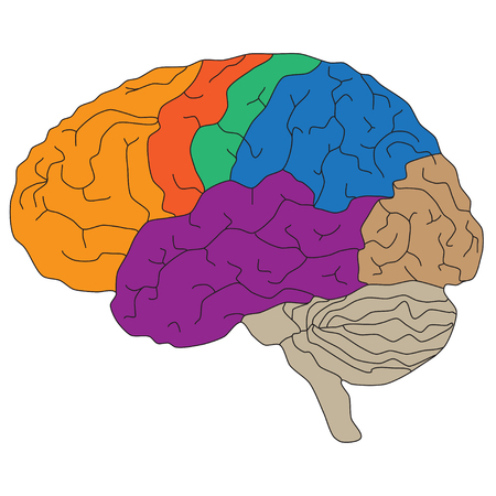 Brain hemispheres. Vector illustration for scientific and medical presentations Illustration