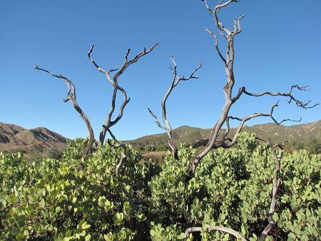 wildwood: Manzanita tree in Wildwood Canyon State Park, Yucaipa, CA
