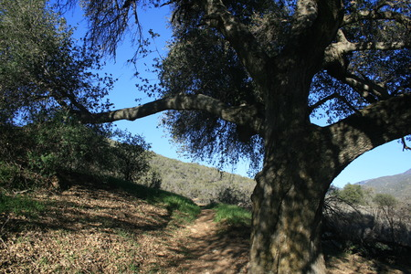 pacific crest trail: Live oak on the Pacific Crest Trail, San Diego County, CA Stock Photo