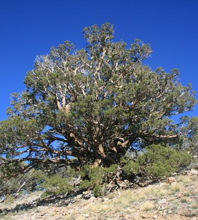 enebro: enebro en la ladera de una montaña, California