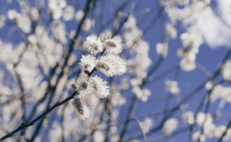 Sunlit willow branches in bloom on blue sky background. Close-up.