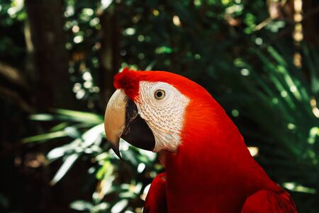 Beautiful red parrot on green tree in tropical forest. Scarlet Macaw. Ara macao. Wildlife scene. Stok Fotoğraf
