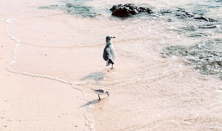 View of one adult and one baby seagull walking on the beach along clear water background. Summer time vacation concept.