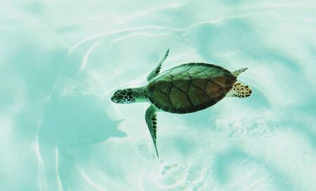 Little sea turtle diving in clear shallow water. Turtle in natural environment. Tropical seashore wildlife.