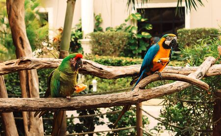 Two colorful parrots perched on a branch eating fruit. Macaw. Wildlife scene.