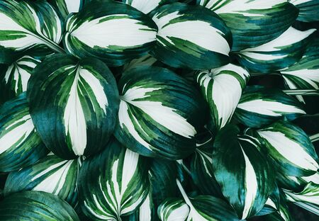 Perfect natural fresh hosta fire and ice leaves pattern background. Creative and moody backdrop. Top view.