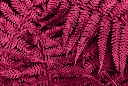 Perfect natural young fern leaves pattern background. Pink dark and moody backdrop for your design. Top view. Copy space.
