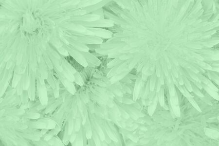 Beautiful dandelions floral background in trendy trendy mint color. Close-up. Top view.
