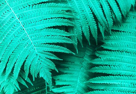 Perfect natural young fern leaves pattern background. Trendy mint backdrop for your design. Top view. Copy space.