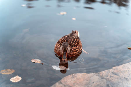 Wild duck in mountain lake. Mountain lake landscape. Beautiful autumn nature background for any purposes.