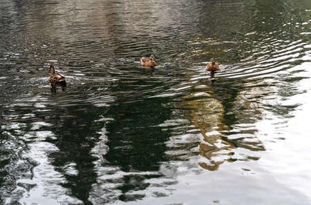 Wild ducks in mountain lake. Mountain lake landscape. Beautiful autumn nature background for any purposes.