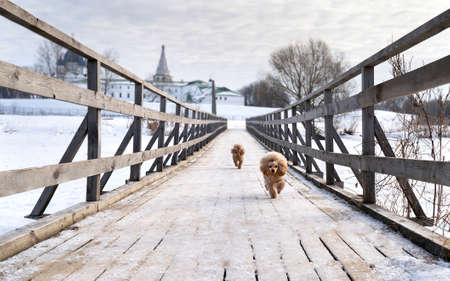 Cute small golden dogs running on snowy bridge. Happy family vacation. Family dog lifestyle. Reklamní fotografie