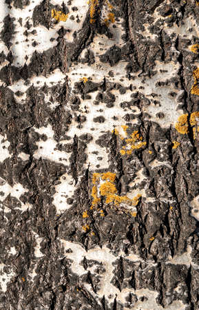 Black and white tree bark background for your design. Abstract natural wood texture background. Place for text.