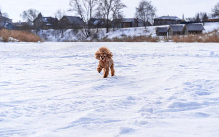 Cute small golden dog playing in snow outdoors. Happy family vacation. Family dog lifestyle.