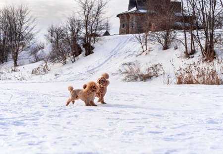 Cute small golden dogs playing in snow outdoors. Happy family vacation. Family dog lifestyle. Reklamní fotografie