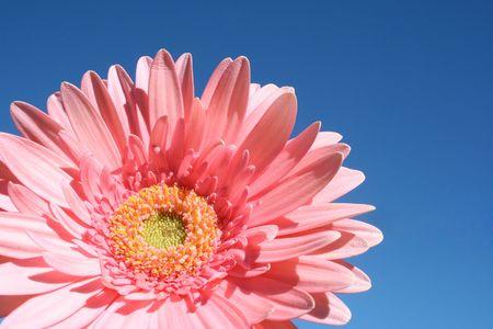 barberton daisy: Closeup pretty bright pink barberton daisy or gerbera jamesonii