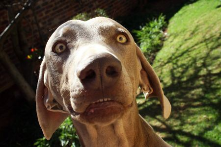 Weimaraner dog close up in garden Stock Photo