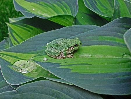 croak: green tree frog camouflaged on matching hosta leaves