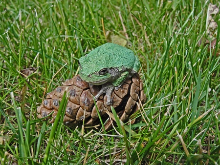 croak: green tree frog perched on pine cone facing left Stock Photo