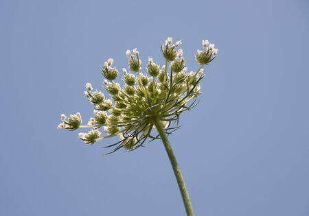 White flowering umbel of wild carrot against a bright blue sky in a white bloom meadow of daucus carota