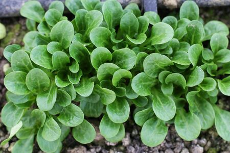 Corn Salad, Field salad, Lambs Lettuce (Valerianella locusta) in the garden, ready to cut. Close up,