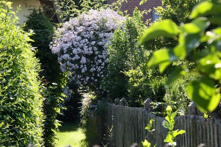 Romantic early summer garden with pink blossoms of rambler or climbing roses, wooden fence, privet and yew hedge next to grass path in the in the morning sun