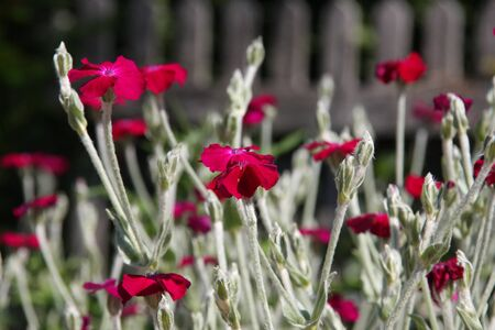 Pink flowers of blooming Rose Campion or Lychnis Coronaria at spring season close up