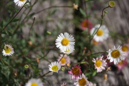 Close up of dainty white and pink Spanish daisy, Erigeron karvinskianus between weathered wooden slats selective focus. Blooming season for outdoor plants in a romantic country garden.