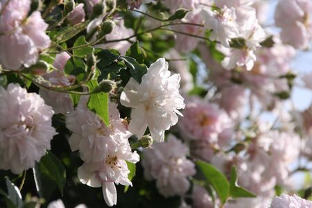 Pale pink blossoms of rambler or climbing roses against pale blue sky on blurred background, dreamy inflorescence in a romantic country cottage garden, in early summer Reklamní fotografie