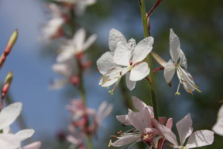 Close up of pale pink blossoms of rambler or climbing roses against pale blue sky, dreamy inflorescence in a romantic country cottage garden, in early summer named oenothera lindheimeri or Lindheimer's beeblossom